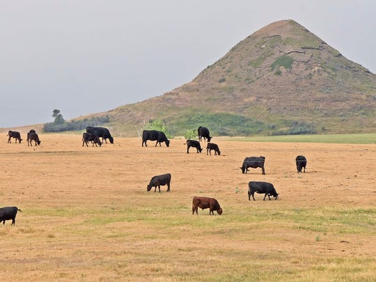 Cattle graze parched pasture land in western Morton