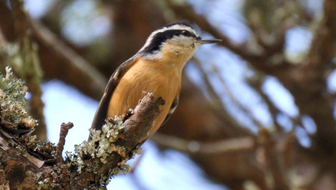 The  red-breasted nuthatch has a winter range that is very erratic, depending on food supplies.