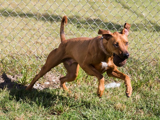 Loki, one of the many dogs up for adoption at New Hope Animal Rescue in Henderson, Ky., runs and plays with a ball on Monday afternoon.