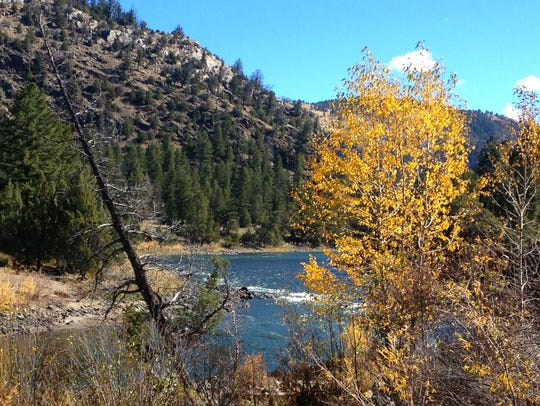 Cottonwoods beside the Yellowstone River pop with color