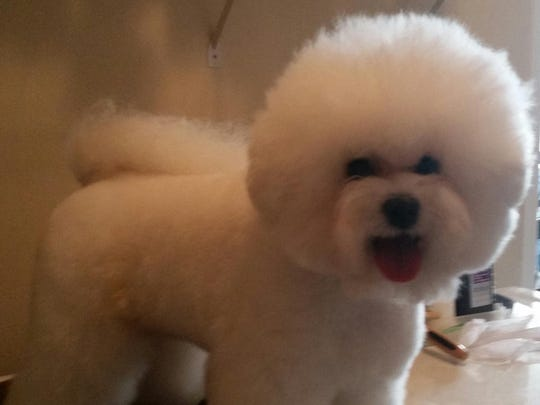 """""""One big fluff ball"""" Riley, a bichon frise, has competed in about 75 shows."""