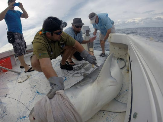 Dr. Matt Ajemian, left, and Dr. Greg Stunz, right, of the Harte Research Institute collect samples and measurements from a 11-foot tiger shark while Naples Daily journalist Scott Butherus, center, inserts a tracking tag at the base of its dorsal fin. The three were part of an expedition in May off the coast of Juno Beach that was filming for a documentary that was featured on Discovery Channel's Shark Week on Aug. 11, 2014.