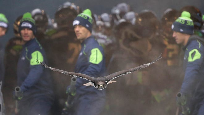 Members of the Seattle Seahawks flag crew watch asTaima, an augur hawk who leads the team out of the tunnel for every home game, flies at CenturyLink Field before an NFL football game against the Pittsburgh Steelers, Sunday, Nov. 29, 2015, in Seattle.
