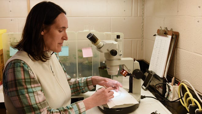 Cyndi Detweiler-Hill an entomologist at the lab, sorts Weevil Knievels by sex.