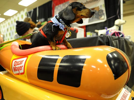 Remington, a dachshund, poses on a replica of the Oscar