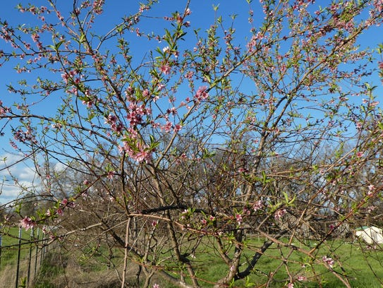 Peach trees bloomed early in Redding this year, making