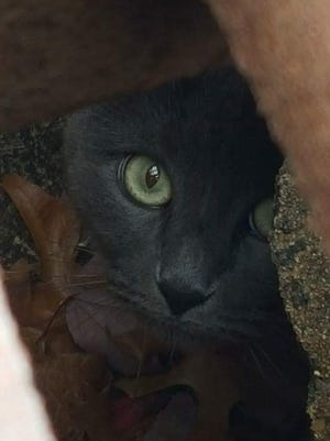 Pepper the kitten is shown in this picture while trapped in a storm drain near Dover Court in Ocean Township.
