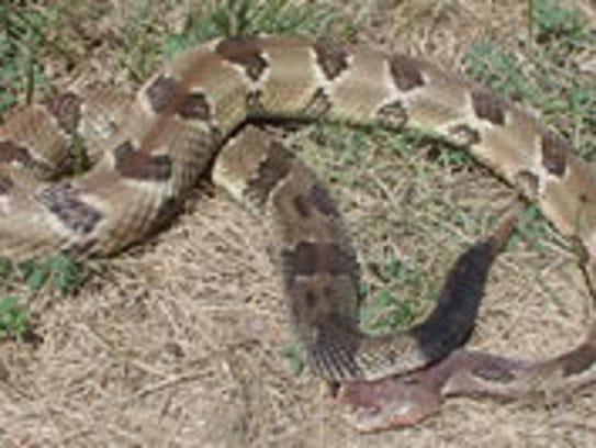 The timber rattlesnake is no longer a candidate for