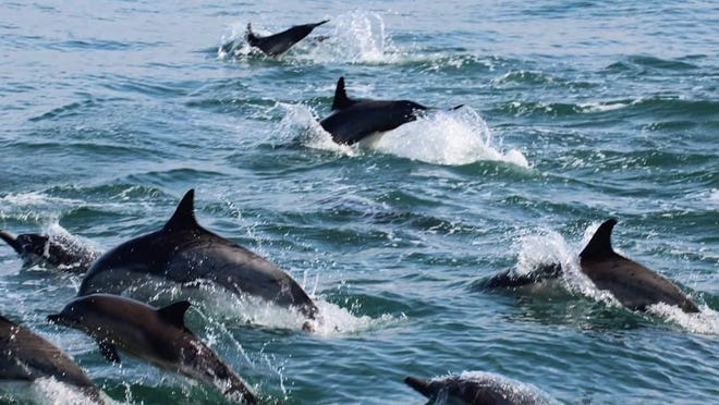 A pod of dolphins spotted in the Monterey Bay.