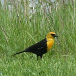 A yellow-headed blackbird has been spotted at the Fort Gratiot Nature Preserve. While common in some parts of North America, it is rarely seen in the Blue Water Area.
