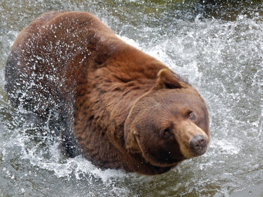 """The author's wife was able to capture this amazing photo of a """"cinnamon phase"""" black bear."""