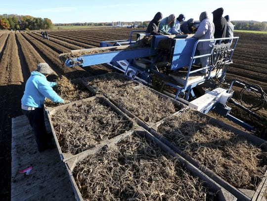 Workers sort ginseng root in early October atop a harvester