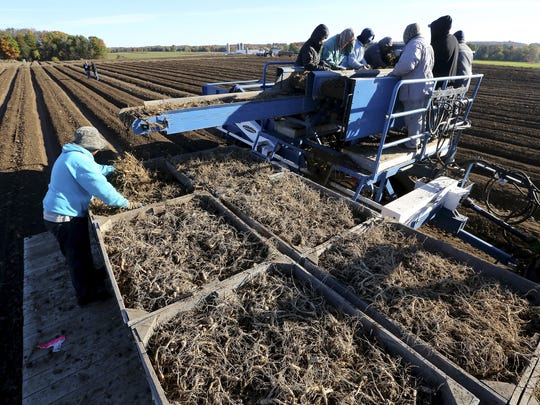Workers sort ginseng root in early October atop a harvester at the Hsu Ginseng Farm near Wausau.