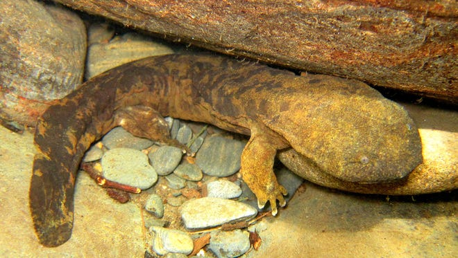 The Eastern Hellbender is the largest salamander in North America. It is also an endangered species in North Carolina.