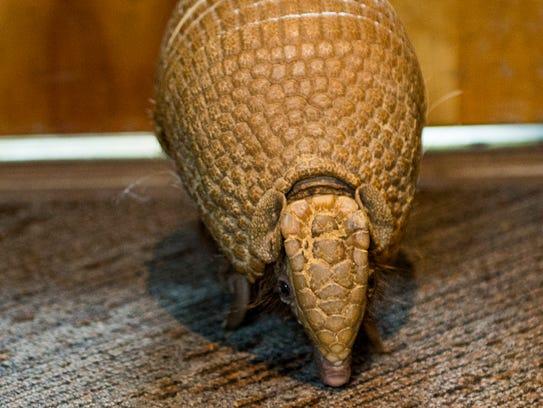 Pele, a three-banded armadillo at the Nashville Zoo,
