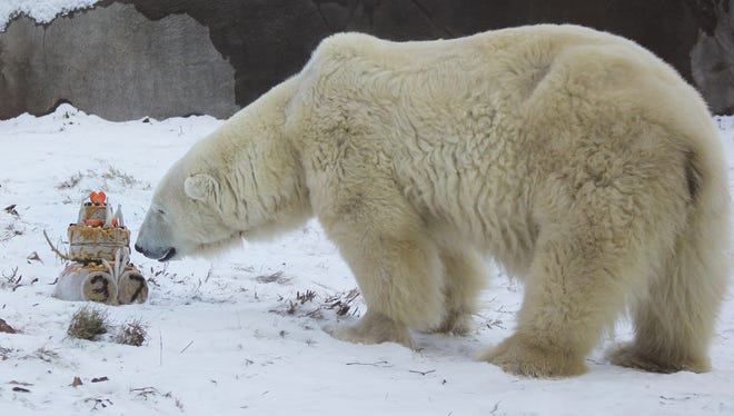 """Coldilocks, the oldest polar bear in the U.S., celebrates her 37th birthday Dec. 14, 2017, with a cake made of peanut butter, honey, raisins and fish. Guests at the party braved a cold, icy day to sing """"Happy Birthday"""" to the bear."""