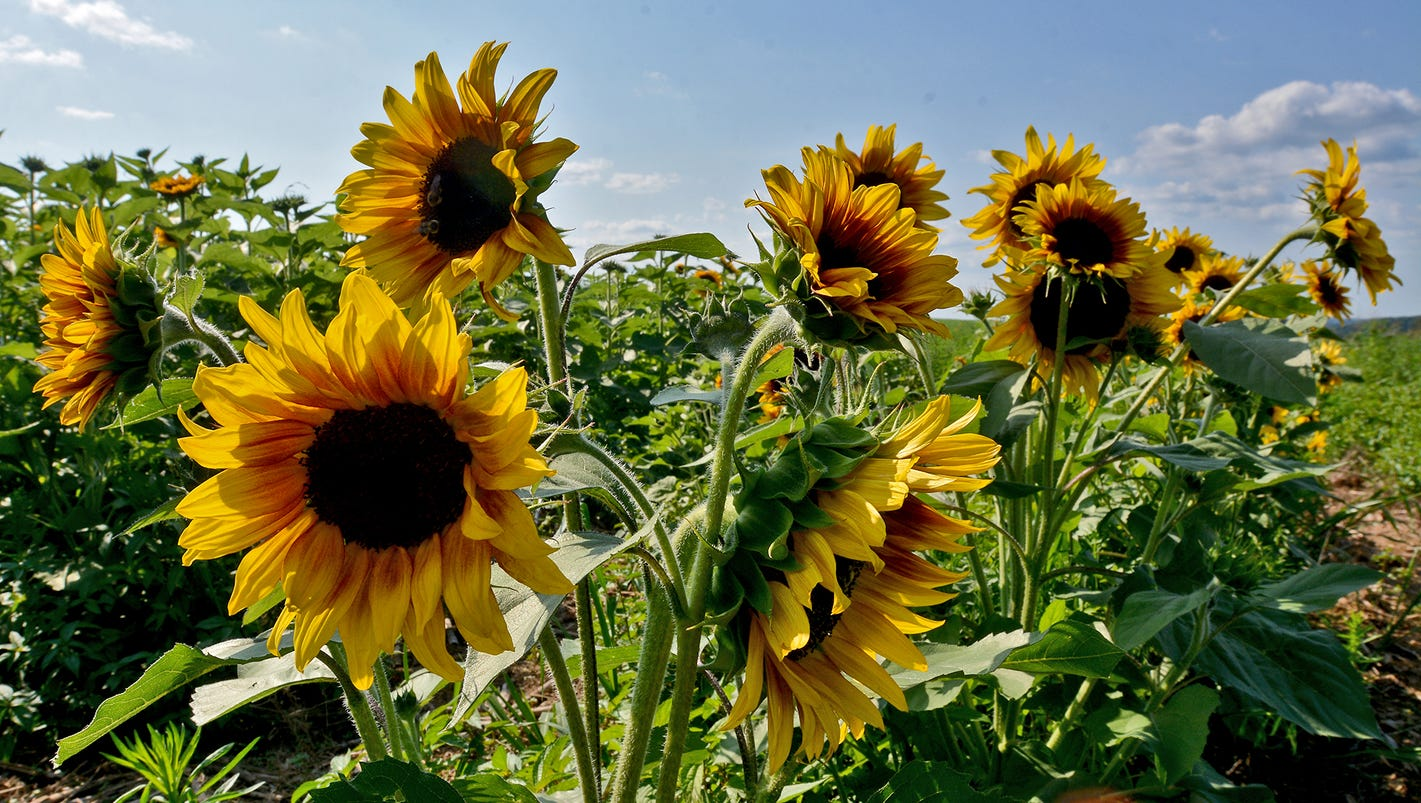 Sunflower Festival Weekend At Maple Lawn Farms