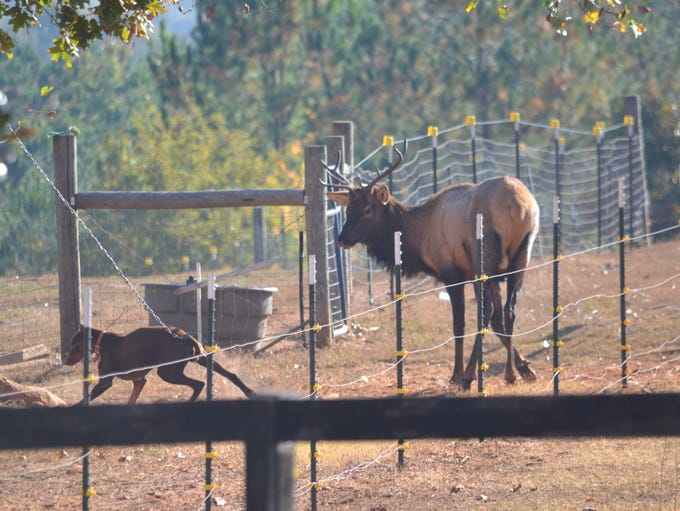 The first elk spotted in Pickens County in hundreds