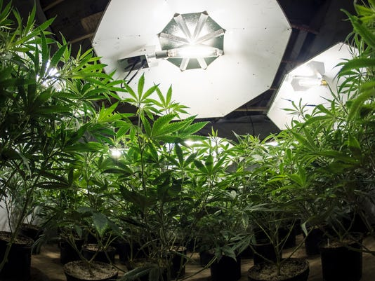 Marijuana Plants Looking Up at Lights