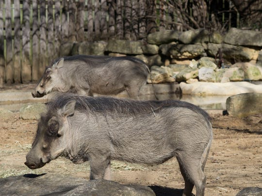 The Louisville Zoo has two new warthogs, Digger and Riggs.