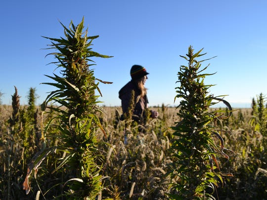 A volunteer walks through a hemp field at a farm in Springfield, CO, in 2013, during the first known harvest of industrial hemp in the U.S. since the 1950s.