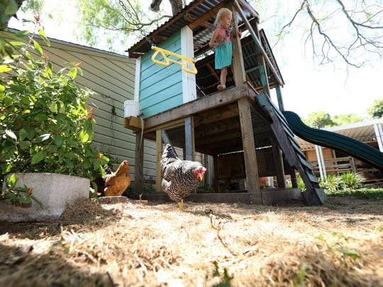 Indiana Colwell, 3, plays in the backyard as chickens munch on treats on Wednesday, September 2, 2015. The family utilized an area underneath the children's fort to create a space to keep chickens.