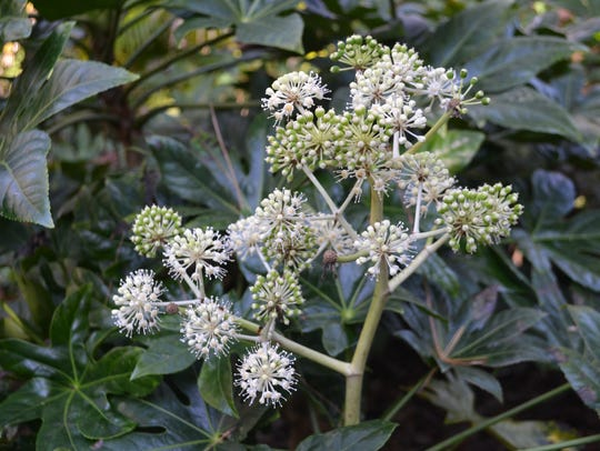 Fatsia japonica in bloom.