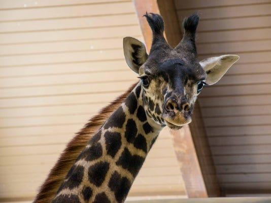 636584417922832203-2018-4-3-Kianga-New-Giraffe001.jpg