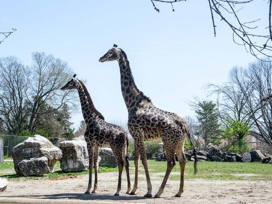 Kianga, left, with 21-year-old Malaika, who is not related to her. Kianga, a 1-year-old Masai giraffe, is the Louisville Zoo's newest giraffe.