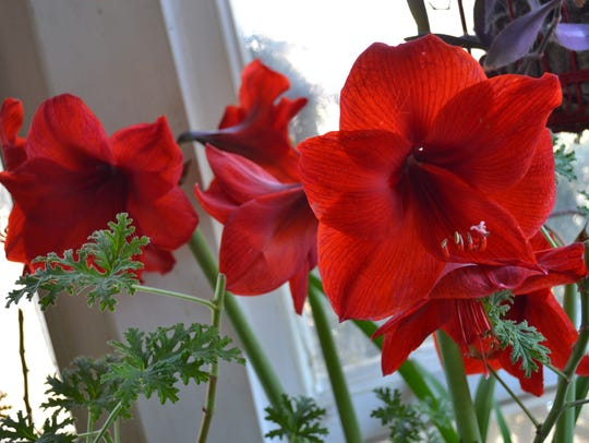 This bright red amaryllis was blooming inside Sharon