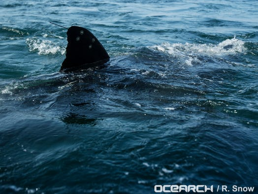 The Ocearch Team Prepares To Capture And Tag A 14 Foot 2300 Pound Great