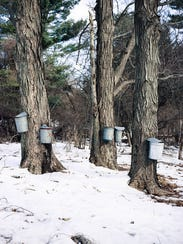 Sugar maple trees in Vermont are seen with buckets