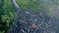 With the nest now empty, the Hanover eagle cam will likely go offline soon.