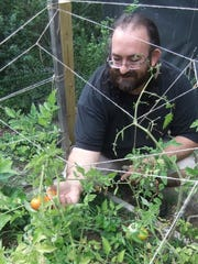 Michael Crowley picks tomatoes from his garden in which he used the double dug method of soil preparation in early spring.