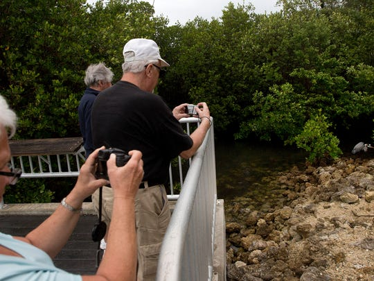 """Visitors to J.N. """"Ding"""" Darling Wildlife Refuge on Sanibel Island get photographs of a great blue heron."""