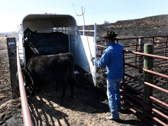 Gray County rancher Ron Ferguson works to load cattle Tuesday, March 7, that survived wildfires in Gray County, Texas. Ferguson said he lost 12-14 head of cattle.