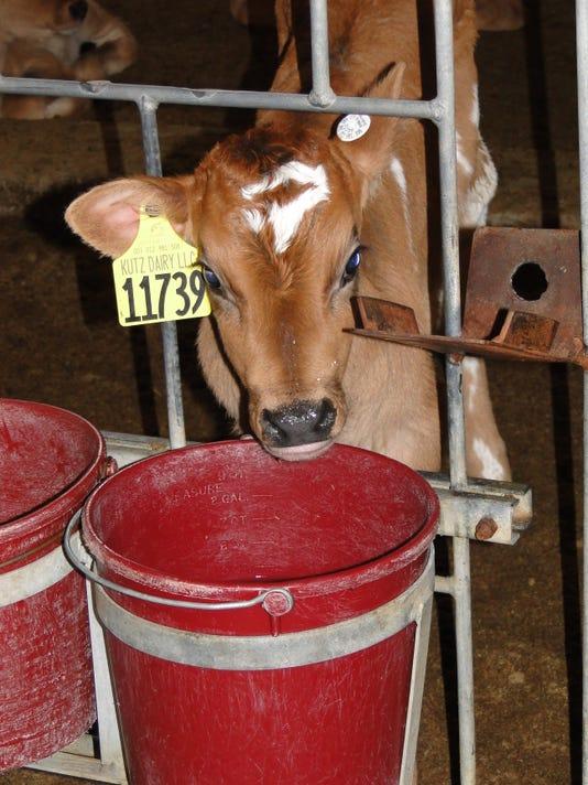 Calves water
