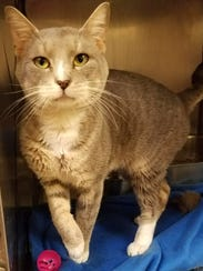 Nikko is a super sweet 7-year-old gray-and-white boy
