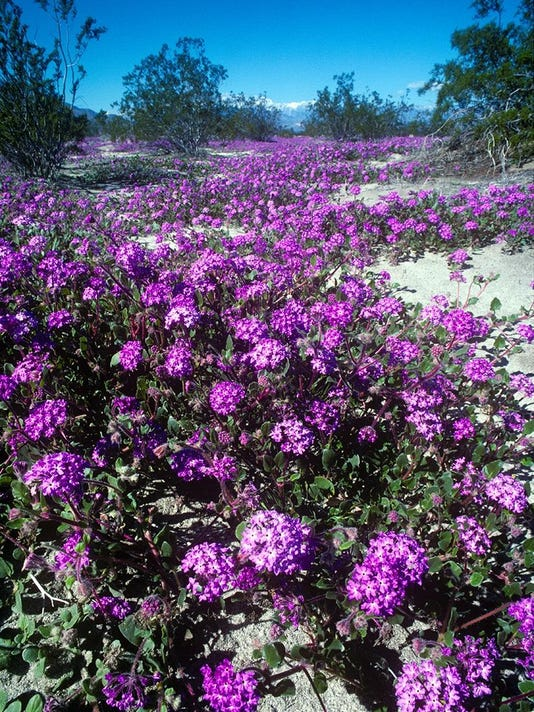 El Nino Sand Verbena in Feb 1998