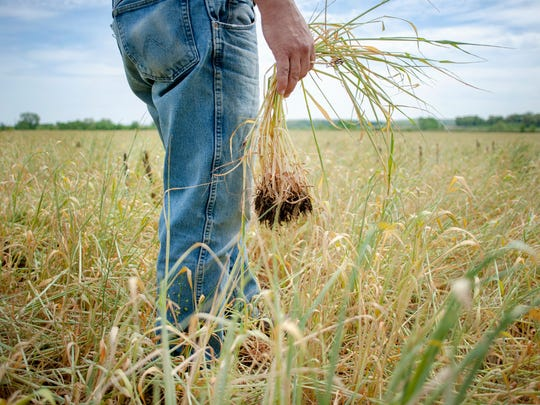 Jeff Pfeuti holds rye used as a cover crop F. The field
