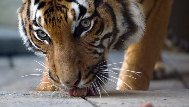 Zoo visitors can see Zoo Knoxville's Malayan tiger Bashir after they visit with PBS KIds' pretend Daniel Tiger on Saturday, April 22.
