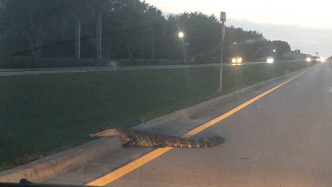 An alligator makes it way on Bonita Beach Road on Wednesday night.