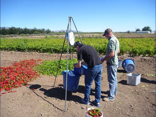New Mexico State University students assist with the development of a bioeconomic model to help growers address the problem of tall morning glories in chile crops.