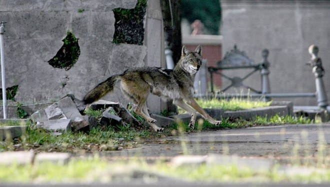 A coyote runs through the Biloxi, Miss. cemetery in this file photo.