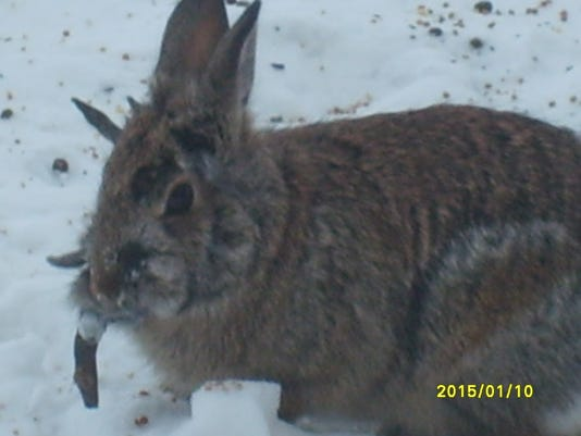 Horned' rabbits spark concern in Sioux Falls