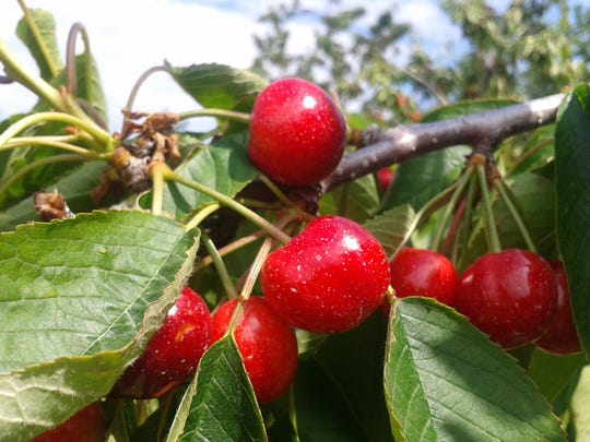 Montmorency cherries mostly grow in Michigan and Wisconsin and are not usually available fresh locally. The crop is used mainly for drying, freezing and canning.