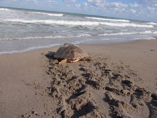 A loggerhead sea turtle makes its way back to the Gulf
