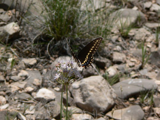 A Black Swallowtail butterfly finds a blooming nectar source in a rocky desert landscape.