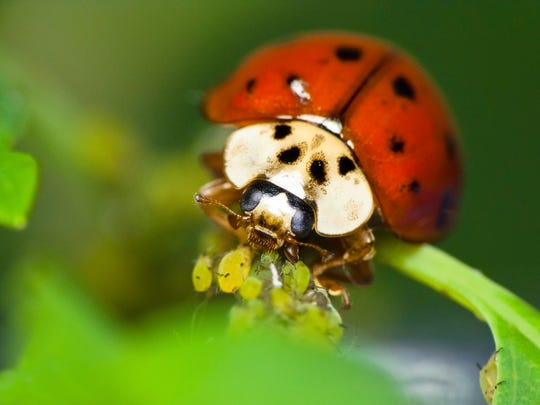 Ladybug feeds on aphids. Natural pest control