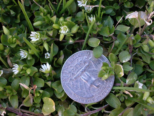 Chickweed, a European import, blooms in cool months.